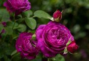 Krzewy róż, róże