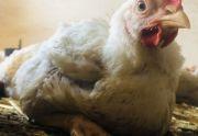 Kurczak Brojler Zagrodowy Wiejski