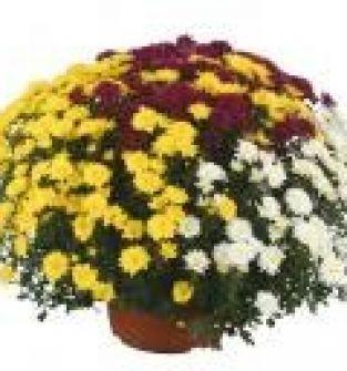 """Chryzantemy doniczkowe drobnokwiatowe """"Trixy"""""""