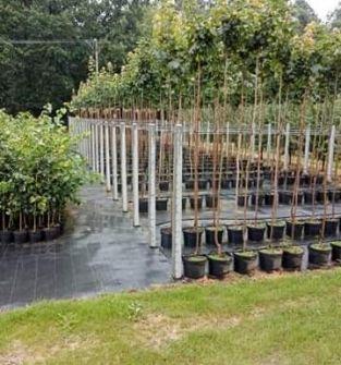 Drzewa alejowe i parkowe