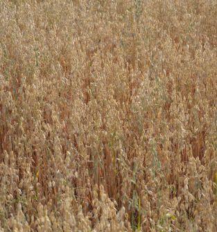 Mieszanka zbożowa (owies, jęczmień, pszenica) ekologiczna