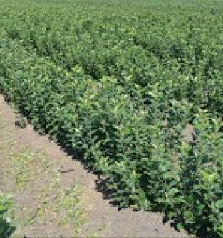 Sadzonki drzewek owocowych jagodowych i ozdobnych