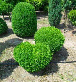Krzewy ozdobne