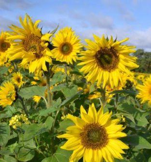 Słonecznik kwiatowy