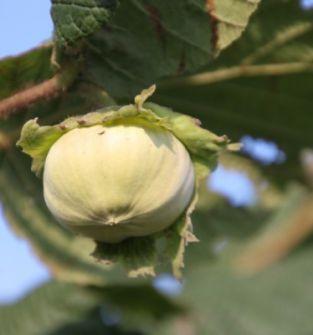 Owoce leszczyny