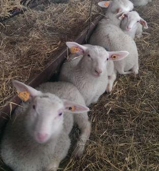 Jagnięta owcze