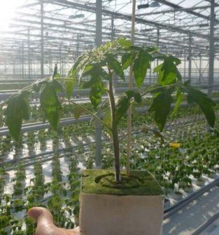 Rozsady i siewki pomidorów szklarniowych