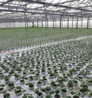 Rozsada warzyw szklarniowych