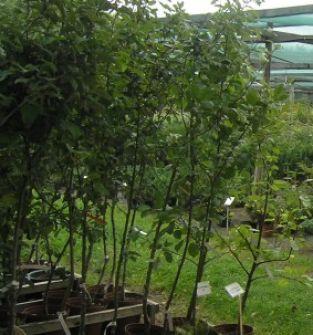 Drzewka i krzewy liściaste w pojemnikach