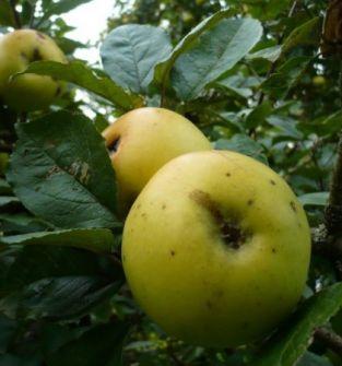 Dawne odmiany jabłoni
