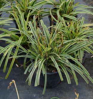 Trawy ozdobne i bambusy