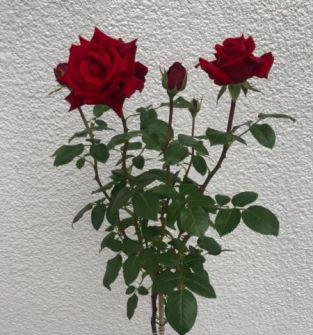 Róże drzewkowe jednokolorowe