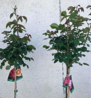 Róże drzewkowe dwukolorowe