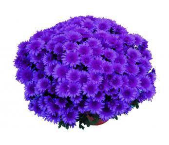 Chryzantemy doniczkowe drobnokwiatowe o dużych kwiatostanach