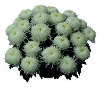 Chryzantemy doniczkowe wielkokwiatowe