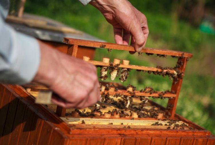 Matki pszczele rasy Karnika