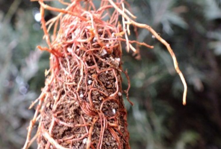 Tuja szmaragd - sadzonka 2-letnia multiplat